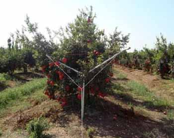 Training of pomegranates - Single axis system