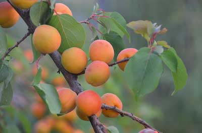 How and when to prune apricot