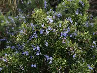 How and when to prune rosemary bush