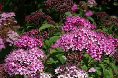 How and when to prune spirea bush
