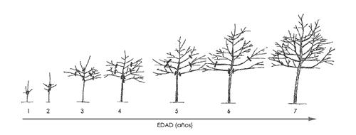 Dynamic training in walnut