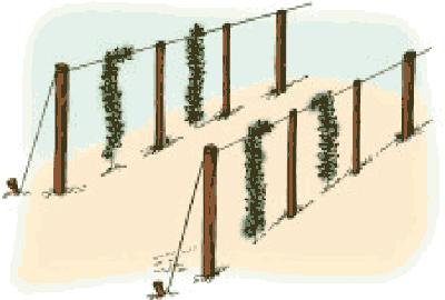 Vertical espalier