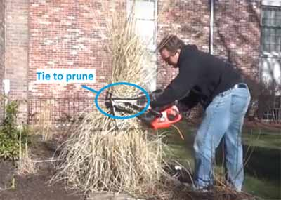 Pruning pampas grass - Tie to prune