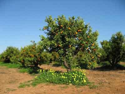 Pruning maintenance  of mandarine tree
