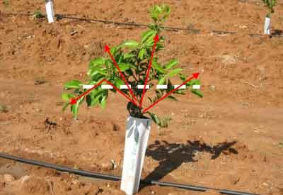 Young mandarine tree pruning