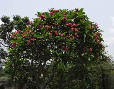Pruning  frangipani plant