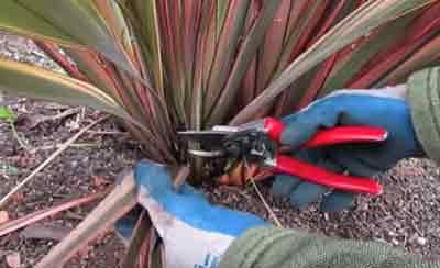 Pruning Phormium