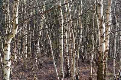 Slver birch tree