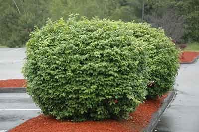Euonymus alatus - Pruning shape