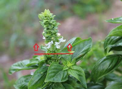 How to prune basil flowers