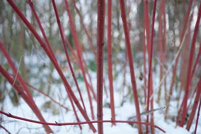 Red Twig Dogwoods