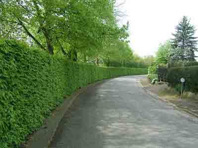 Pruning beech hedge
