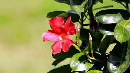 Pruning mandevilla or dipladenia