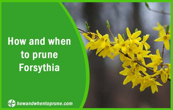 Pruning Forsythia - How and when to prune