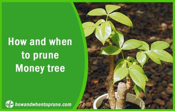 Pruning Money tree - Pachira aquatica