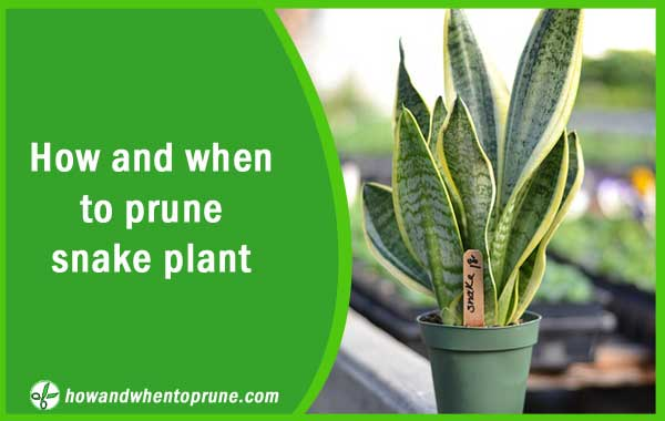 Pruning or trimming snake plant