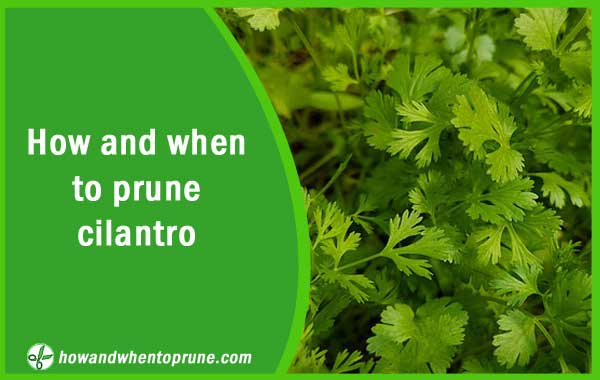 Pruning cilantro - How and when to prune