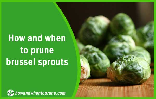 Pruning or trimming brussel sprouts