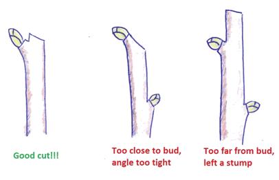 How to cut - Pruning Hydrangea paniculata