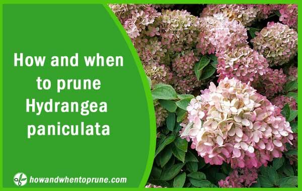 Pruning hydrangea paniculata