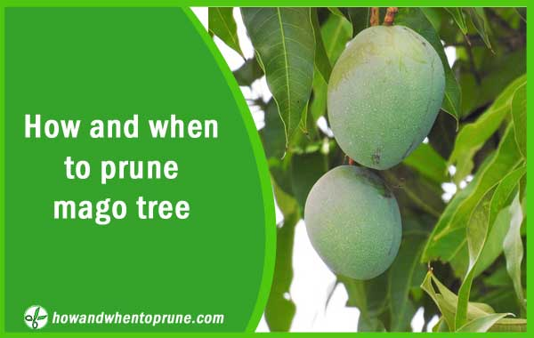 Pruning Mango tree - How and when to prune