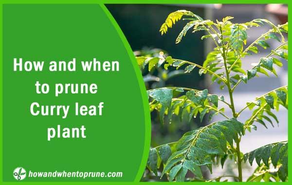Pruning curry leaf plant