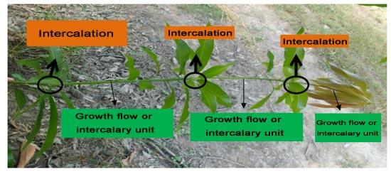 Intercalation - Mango tree