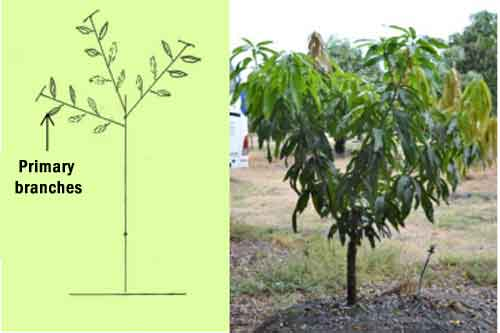 Second formation pruning mango tree