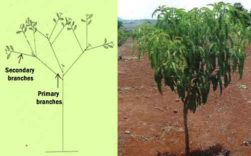 Third formation pruning
